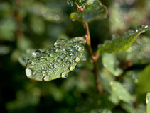 Droplets of dew on leaves of great bilberry Stock Photo