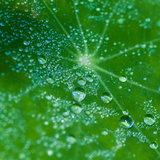 Droplets Everywhere. A close-up of dewdrops balanced upon a green nasturtium leaf stock images