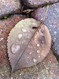 Droplets on a fallen leaf Stock Photos