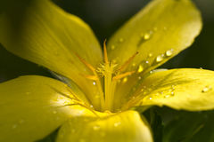 Droplets on Flower Petals Stock Photo