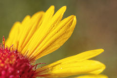 Droplets on a Gaillardia Aristata Royalty Free Stock Images