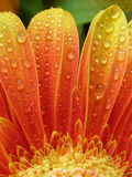 Droplets on gerbera Royalty Free Stock Images