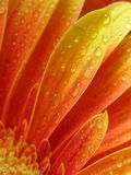 Droplets on gerbera Royalty Free Stock Photos