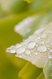 Droplets on a Ginkgo biloba. Leaf Royalty Free Stock Image
