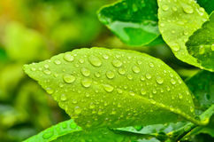 Droplets on green leaf Royalty Free Stock Image