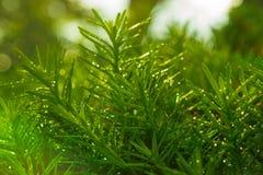 Droplets on Juniper Bush Royalty Free Stock Photos
