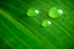 Droplets on a leaf. Three droplets on a green leaf royalty free stock images