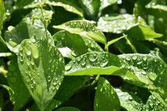 Droplets on Leaves Stock Images