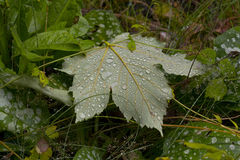 Droplets on Maple Leaf. Droplets of Water on Sycamore Maple Leaf in Surrey Forest, England, UK Royalty Free Stock Images