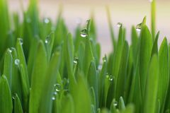 Droplets of morning dew in the fresh green grass royalty free stock photo