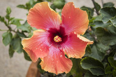 Droplets on an open hibiscus. A single red and orange hibiscus flower opens in the spring in San Antonio, Texas. Droplets from the dew adorn its petals Stock Images