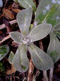 Droplets on Perennial Cornflower / Centaurea Montana Leaves Stock Images