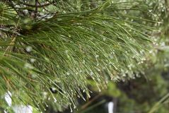 Fir tree branches wet after the rain. Raindrops on the needles. Close-up. stock photo