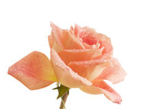 Droplets on Single Rose royalty free stock photography
