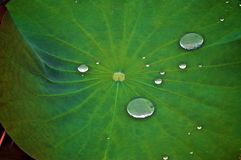 Droplets Suspended on Green Leaf Stock Image