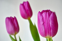 Purplish tulip flowers. Tulips abstract with fine droplets on the petals - isolated; white background Stock Images