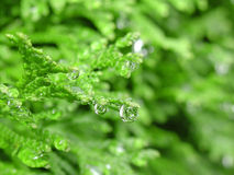 Droplets of water. On cedar leaves captured after a rainy spell Stock Photography