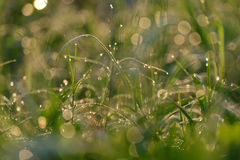 Droplets of water on blades of grass in sunshine and spider net Royalty Free Stock Photo
