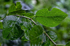 Droplets of water on a leaf of a plum tree Royalty Free Stock Photos