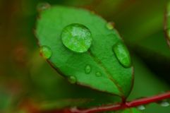 Droplets of Water on Rose Leaf. Droplets of water on a rose leaf after a heavy downpour Royalty Free Stock Images