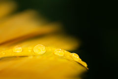 Droplets yellow petal. Closeup macro of water droplets on yellow flower petal with selective focus royalty free stock images