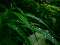 Dropos da água nas folhas do verde após chover Fotografia de Stock Royalty Free