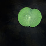 droppar arbeta i trädgården grönt leaflotusblommavatten royaltyfri fotografi