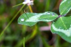 Droppar av dagg ?verst av ett v?xt av sl?ktet Trifoliumblad royaltyfria bilder