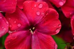 Droppar av dagg på den röda blomman Royaltyfria Bilder