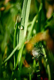 Droppar av dagg på det gröna gräset Arkivfoto
