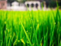 Droppar av dagg på en grön råris i moringen Arkivfoton