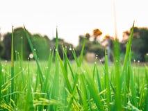 Droppar av dagg på en grön råris i moringen Royaltyfri Fotografi