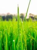 Droppar av dagg på en grön råris i moringen Royaltyfria Bilder