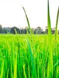 Droppar av dagg på en grön råris i moringen Royaltyfri Foto