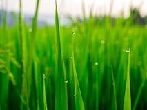 Droppar av dagg på en grön råris i moringen Fotografering för Bildbyråer