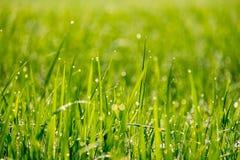 Droppar av dagg på en risväxt Arkivfoton