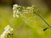 Droppar av dagg på en spindelrengöringsduk i ottan Arkivbilder