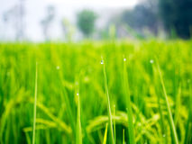 Droppar av dagg på ett grönt gräs i moringen Royaltyfria Bilder