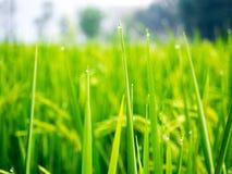 Droppar av dagg på ett grönt gräs i moringen Royaltyfri Foto