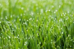 Droppar av dagg på gräs Arkivfoto