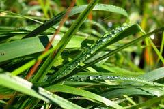 Droppar av dagg på gräset Solkatt i en daggdroppe täta daggliten droppe gräs perfekt övre vatten för leafmorgonen Royaltyfria Bilder
