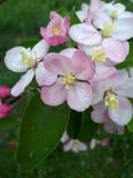 Droppar av dagg på rosa färger fjädrar blommor på träd arkivbilder