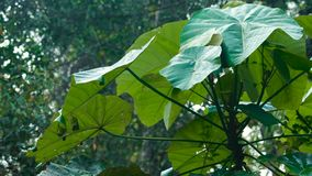 Droppar av dagg på stora gröna sidor arkivfilmer