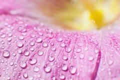 Droppar av daggvatten på ett blommakronblad Royaltyfri Fotografi