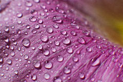 Droppar av daggvatten på ett blommakronblad Arkivfoto