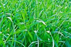 Droppar av morgondagget på det gröna gräset. Fotografering för Bildbyråer