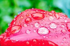 Droppar av vårregn på röda tulpan royaltyfri bild
