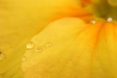 Droppar av vatten på blommakronbladet Royaltyfri Fotografi