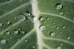 Droppar av vatten på den trädgårds- kålen Arkivbilder