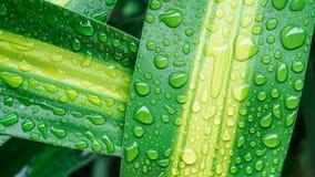 Droppar av vatten på det gröna bladet eller uppfriskande dagg i morgon arkivfoto
